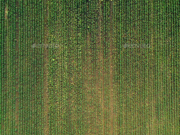 Aerial view of corn crops field with weed - Stock Photo - Images