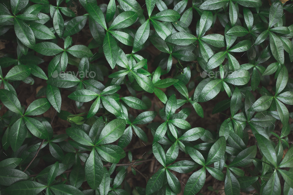 Green leaves background. Green leaves color tone dark in the morning. - Stock Photo - Images