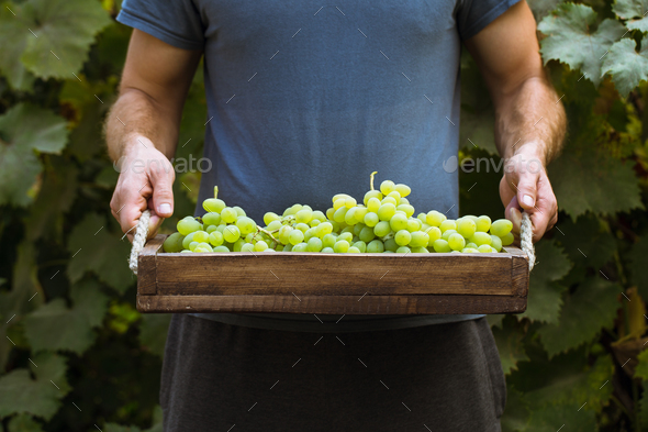 A man picking grapes in a vineyard - Stock Photo - Images