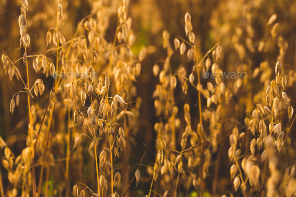 Field of oats in front. Harvest season - Stock Photo - Images