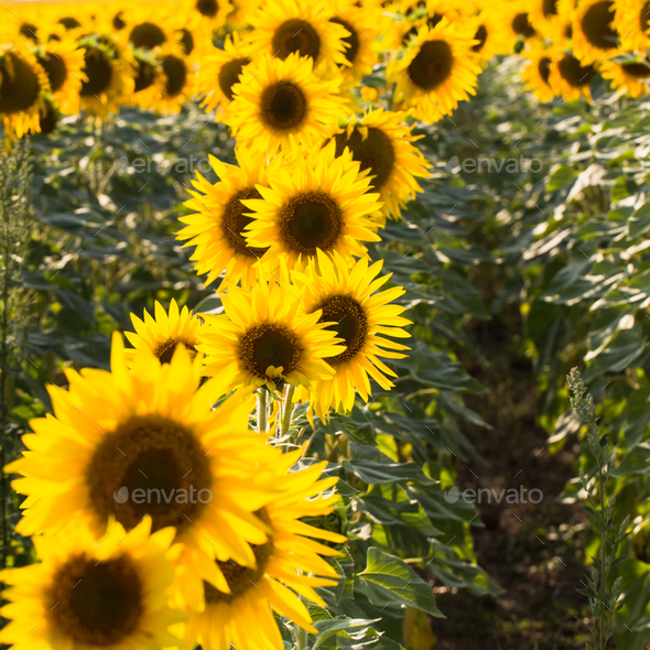 Field of sunflowers. Composition of nature. - Stock Photo - Images