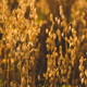 Field of oats in front. Harvest season - PhotoDune Item for Sale