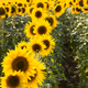 Field of sunflowers. Composition of nature. - PhotoDune Item for Sale