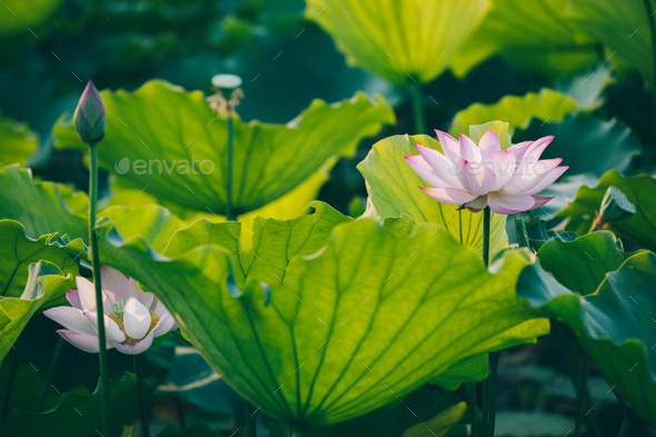 Lotus In Pond Stock Photo By Lzf Photodune