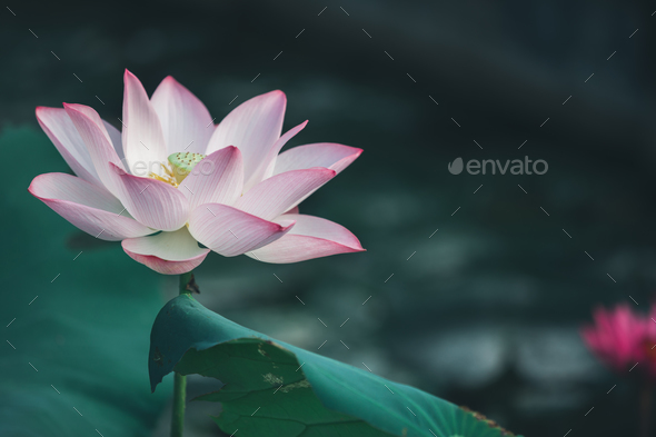 Lotus in pond - Stock Photo - Images