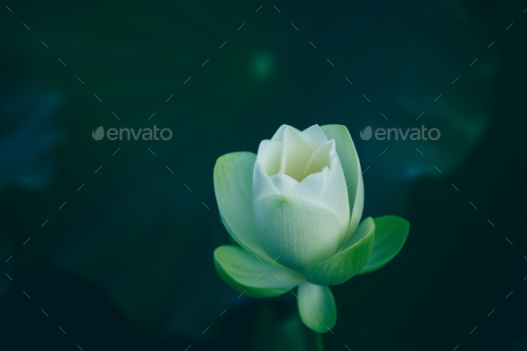 White lotus in pond - Stock Photo - Images