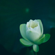 White lotus in pond - PhotoDune Item for Sale