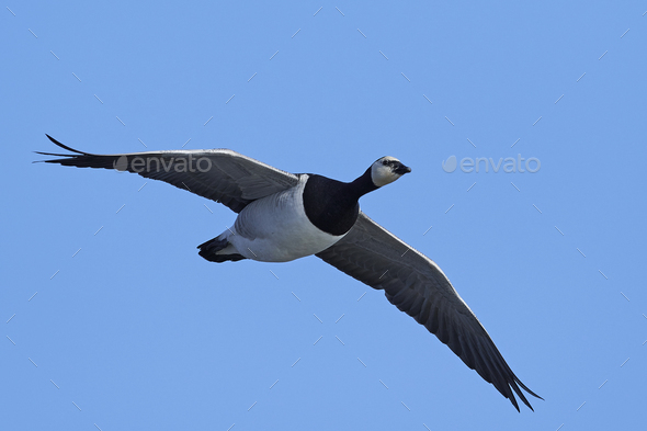Barnacle goose (Branta leucopsis) - Stock Photo - Images