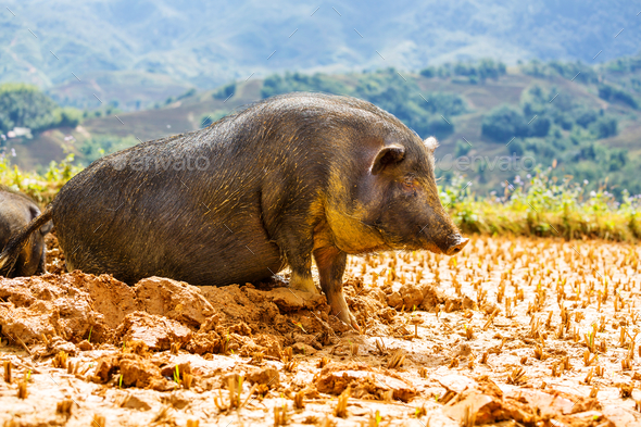 Pig - Stock Photo - Images
