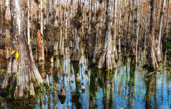 Forest in Everglades - Stock Photo - Images