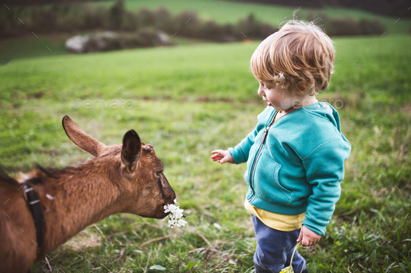 A toddler boy feeding a goat outside in spring nature. - Stock Photo - Images