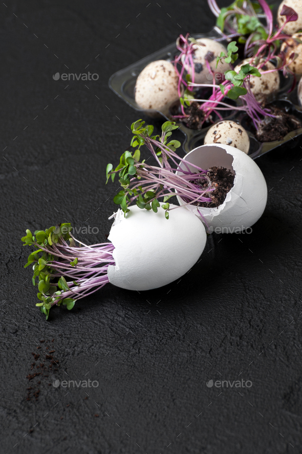 Seedlings cress-salad in the eggshell on a black background. - Stock Photo - Images