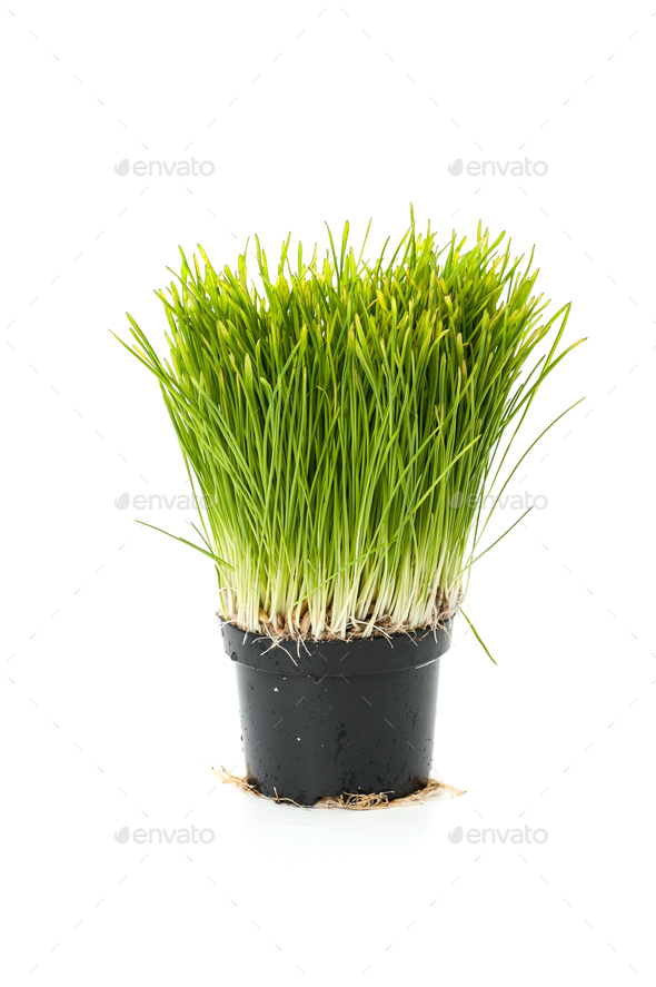Lawn grass from sprouted oats in a small pot. Isolated on white - Stock Photo - Images