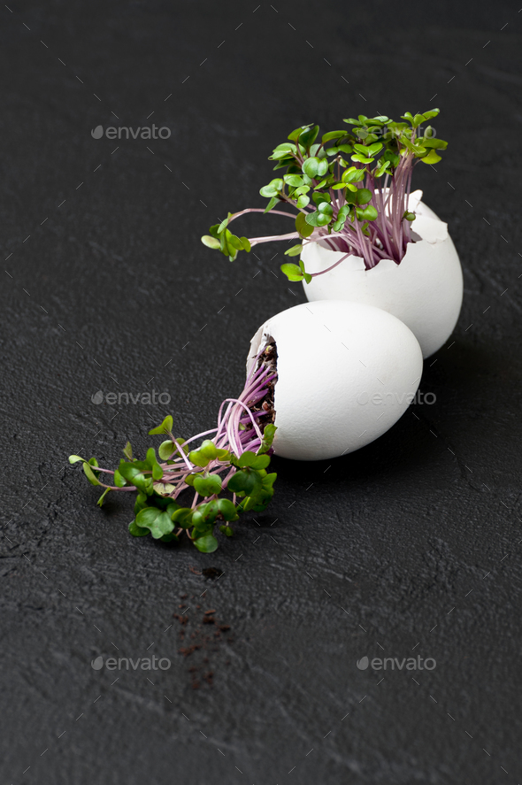 Sprouts cress-salad in the eggshell on a black background. - Stock Photo - Images