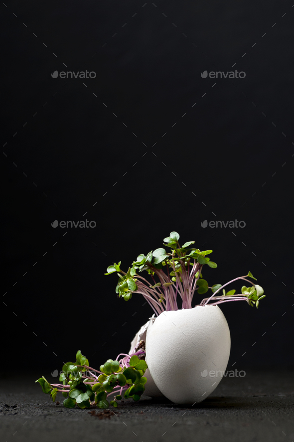 Young green cress-salad in an egg-shell on a black background. - Stock Photo - Images