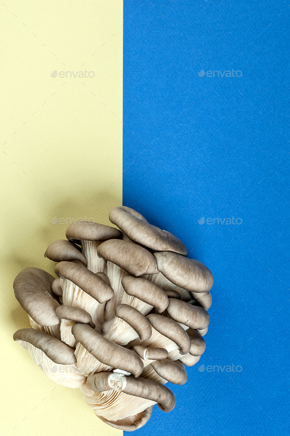 Oyster mushrooms on a blue-yellow textured background. - Stock Photo - Images