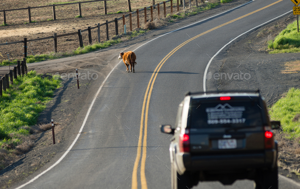 A Cow Stops Traffic Loose on the Highway Outside Ranch - Stock Photo - Images