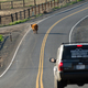 A Cow Stops Traffic Loose on the Highway Outside Ranch - PhotoDune Item for Sale