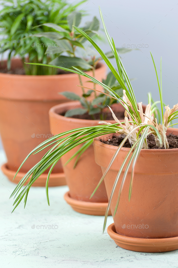Three potted plants in clay pots. - Stock Photo - Images