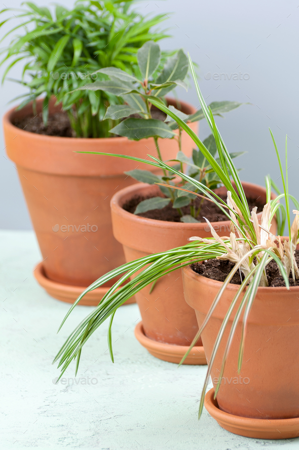 Three potted plants in clay pots: Areca, Laurel and Crocus. - Stock Photo - Images