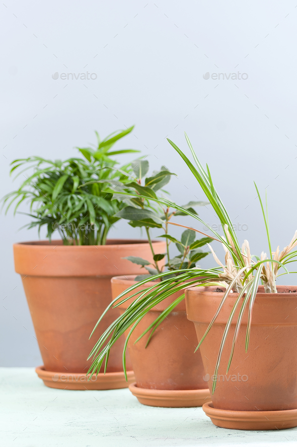 Three potted plants on a bluish-gray background: Areca, Laurel a - Stock Photo - Images