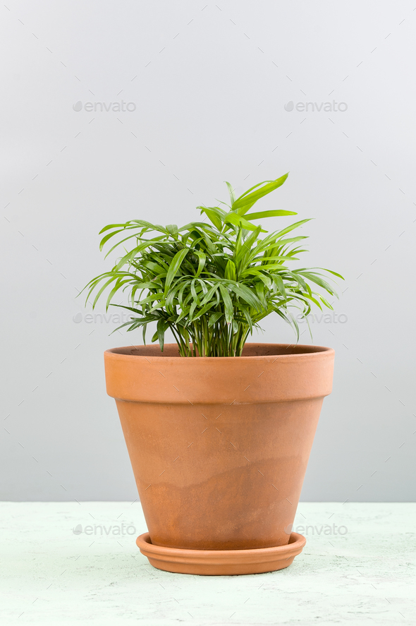 Houseplant - a small palm of Areca in a clay pot. - Stock Photo - Images