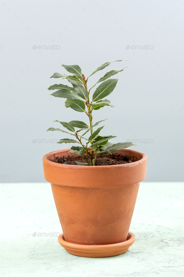 A young seedling of the Laurus tree in a clay pot on a light gra - Stock Photo - Images