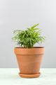 Houseplant - a small palm of Areca in a clay pot. - PhotoDune Item for Sale