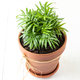Indoor green plant Chamaedorea in a clay terracotta pot. - PhotoDune Item for Sale