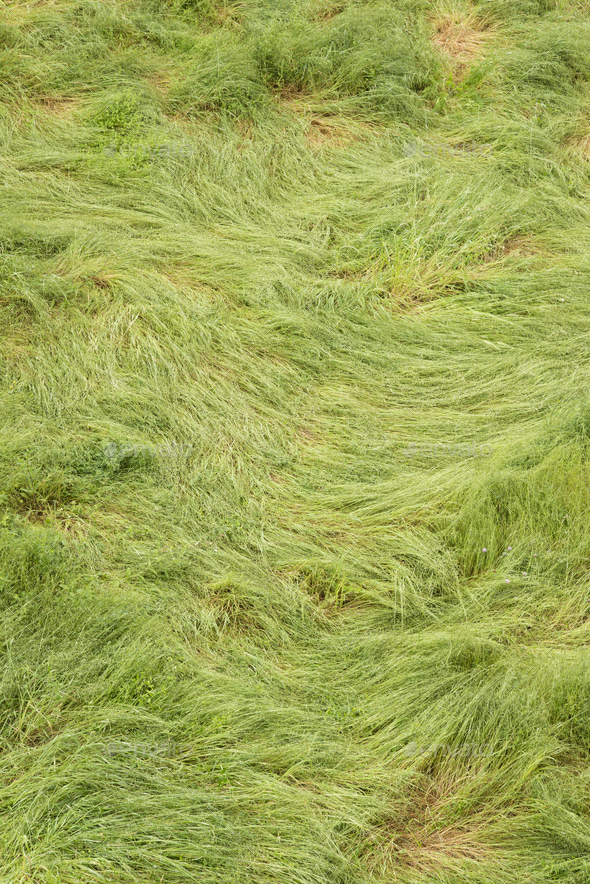 Green long grass twirled by strong winds. - Stock Photo - Images