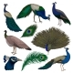 Detailed Flat Vector Set of Peacocks