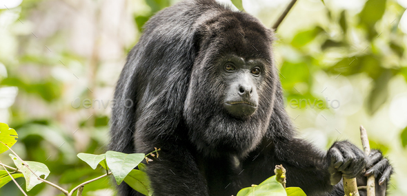 Black Howler Monkey - Stock Photo - Images