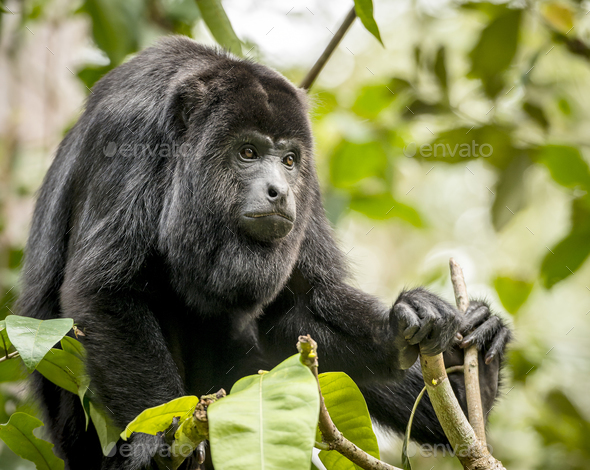 Howler Monkey In Forest - Stock Photo - Images