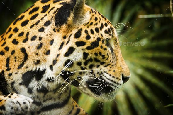 Jaguar Cat Profile - Stock Photo - Images