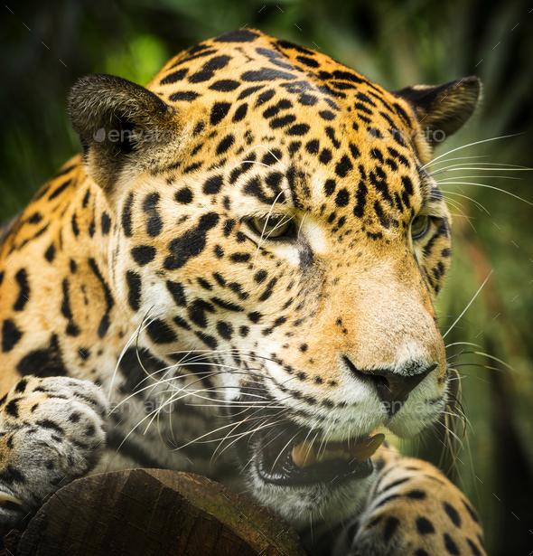 Jaguar Cat Growling - Stock Photo - Images