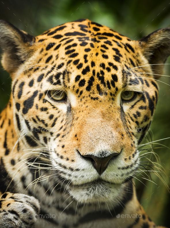 Jaguar Cat Portrait - Stock Photo - Images