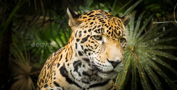 Jaguar Cat - Stock Photo - Images