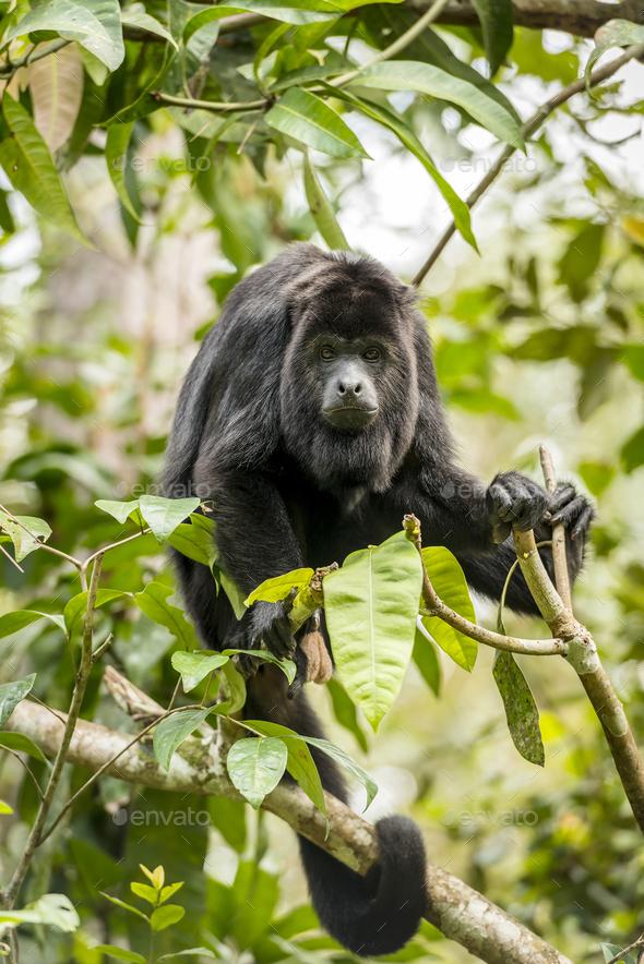 Black Howler Monkey - Stock Photo - Images