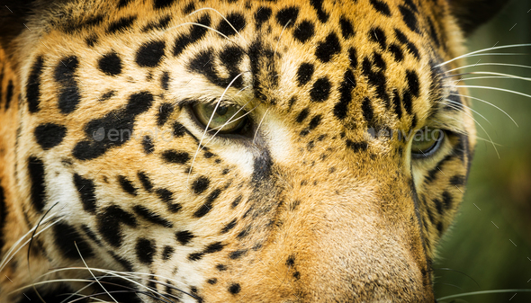 Jaguar Cat Eyes - Stock Photo - Images