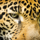 Jaguar Cat Eyes - PhotoDune Item for Sale