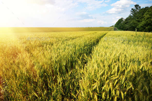 Wheat field summer sunny day under cloudy blue sky - Stock Photo - Images