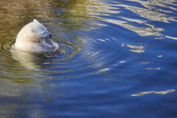 Polar bear cub eating on the water. Wildlife animal background. Horizontal - Stock Photo - Images