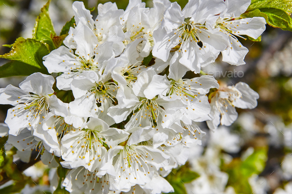 Cherry flowers blossom in Jerte Valley, Caceres. Spring in Spain - Stock Photo - Images