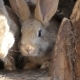 Domestic Rabbits in a Cage. Family Gray Rabbits Eat Grass, Leaves and Corn. - VideoHive Item for Sale