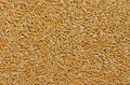 Kamut Khorasan wheat, surface and background - PhotoDune Item for Sale