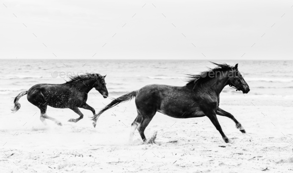 Two brown horses galopading on the seashore. - Stock Photo - Images