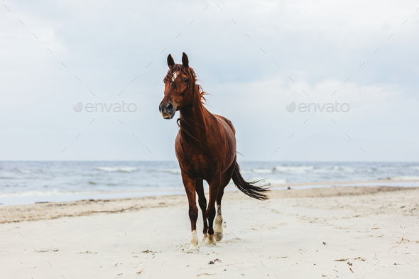 Lonely bay horse trotting on the beach by the sea. - Stock Photo - Images
