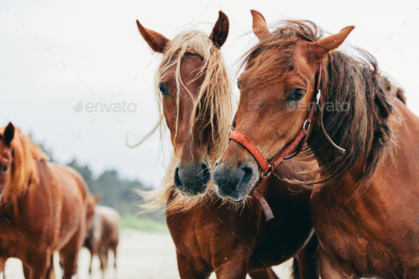 Two bay horses standing next to each other on the beach. - Stock Photo - Images