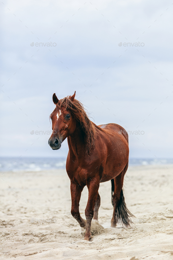 Brown horse walking by the sea on the sandy beach. - Stock Photo - Images