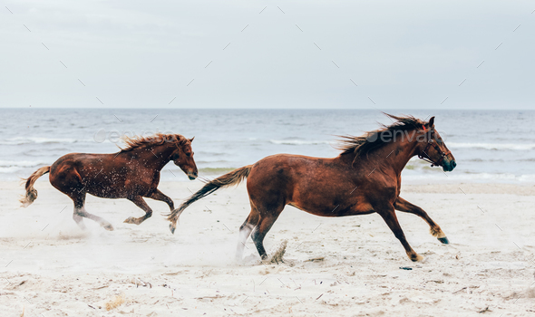 Two brown horses running fast on the seashore. - Stock Photo - Images